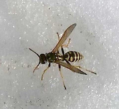 Wasps In Snow - You Don't See That Often